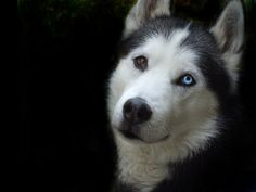 Always wanted a dog with one brown and one blue eye.
