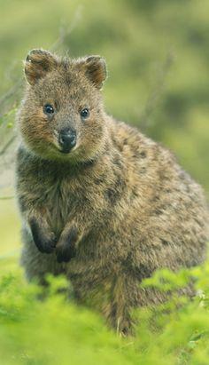 Quokka in Australien