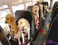Dog School Bus with golden retrievers an labrador retrievers Funny Animal Pictures, Funny Animals, Cute Animals, Animals Dog, Cute Puppies, Cute Dogs, Dogs And Puppies, Doggies, Golden Retrievers