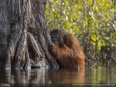 Wildlife Place/Grand Prize: A male orangutan peers from behind a tree while crossing a river in Borneo, Indonesia. Picture: Jayaprakash Joghee Bojan, 2017 National Geographic Nature Photographer of the Year Photographie National Geographic, National Geographic Fotos, National Geographic Photo Contest, National Geographic Photography, Wildlife Photography, Animal Photography, Photos Sous-marines, Nature Photos, Pictures