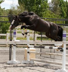 Connemara Pony Stallion R Blue Moon. Pony Breeds, Horse Breeds, Connemara Pony, Blue Moon, Dressage, Beautiful Horses, Equestrian, Celtic, Ranch