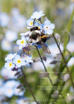 WILDBIENEN- UND BLÜHKALENDER 2016 12 heimische Wildbienen- Arten, die in unseren Gärten häufig vorkommen, werden vorgestellt.  Ein Kurzportrait der Bienen beschreibt: Flugzeit / Vorkommen / Größe / Blütenbesuch / Lebensraum / Lebensweise / Blütenvorliebe
