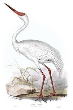 bird illustration from John Gould's Birds of Europe, 1837 Antique Illustration, Bird Illustration, Illustrations, Antique Prints, Antique Art, Sibylla Merian, White Crane, John Gould, Japanese Drawings