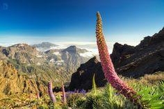 Floración del tajinaste rosa en las cumbres de la isla de La Palma (Canarias. España)