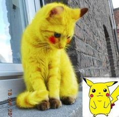 12 best pikachu cat images fluffy animals fluffy kittens funny