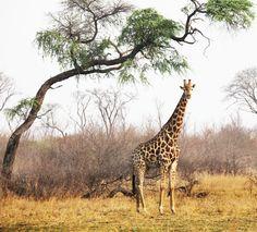 Giraffe - Naturschutzgebiete - Namibia