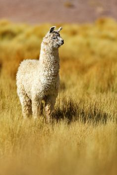 Lama by Christian Rey on 500px