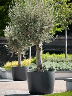 new ideas olive tree garden patio courtyards Tree Planters, Potted Trees, Garden Planters, Garden Trees, Terrace Garden, Courtyard Gardens, Container Plants, Container Gardening, Patio Courtyard Ideas