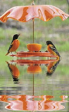 Oriels eating at a feeder with an umbrella over it in the rain...what a kind person to not only leave the birds food but to protect them from the rain with the umbrella.