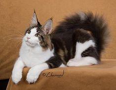 Maine Coon Cat - Beautiful!