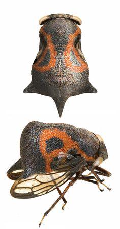 Membracidae Gen. sp.68
