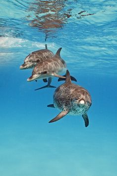 trio of bottlenose dolphins