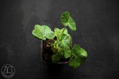 Oravankesäpesä | Riippapelargoni Pelargonium pelatatum 'PAC Tom Cat'