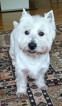 Robby West Highland White Terrier | Pawshake                                                                                                                                                     More