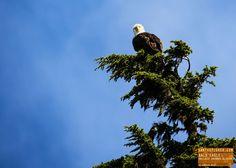 Bald Eagle - Alaska — earthXplorer adventure travel photography