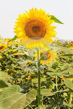 Farming Sunflowers for oil purpose.