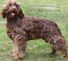 Rutlands Shakea, Australian Cobberdog female retired from breeding in 2013. Photo taken at four years of age