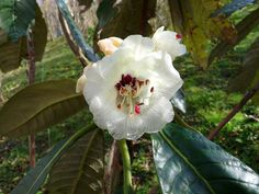Rhododendron grande Wight 1849 (ERICACEAE) | Sinónimos: Rhod… | Flickr - Photo Sharing!