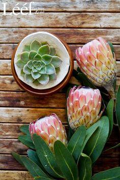 My 2 gunsteling plante🥰 Protea Art, Protea Flower, Background Vintage, Flower Art, Art Flowers, Pretty Flowers, Wallpaper Backgrounds, Wallpapers, Trees To Plant