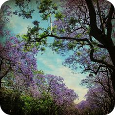 Jacarandas from Lisbon Lisbon Portugal, River, Plants, Pictures, Outdoor, Jacaranda Trees, Photos, Outdoors, Photo Illustration