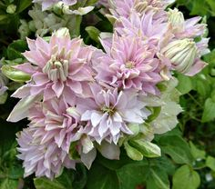 Clematis Dancing® Queen