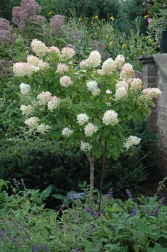 Limelight Hydrangea (tree form) makes a great accent in your landscape.