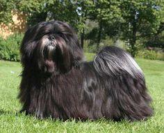 black lhasa apso - Google Search Beautiful Dogs, Animals Beautiful, Dogs With Big Eyes, Lhasa Apso Puppies, Cute Little Dogs, Shih Tzus, Four Legged, My Animal, Girls Best Friend