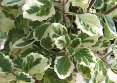 Cat Safe Plants, House Plants, Plant Leaves, Home And Garden, Vegetables, Gardening, Plants, Indoor House Plants, Lawn And Garden