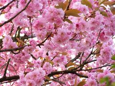"""In ihrer Heimat Japan ehrt man die Kirschblüte jedes Jahr mit einem großen Volksfest, dem """"Hanami"""". Zu Recht, gehören sie doch zu den ersten Pflanzen im"""