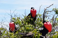 """My first time to see these frigate birds and the fact that all three had their throat pouches inflated was an amazing sight. These birds are beautiful.""  Join the #MyNatureMoment movement here: bit.ly/24yVWYL"