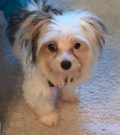 Annie is an adoptable Maltese searching for a forever family near Menomonee Falls, WI. Use Petfinder to find adoptable pets in your area.