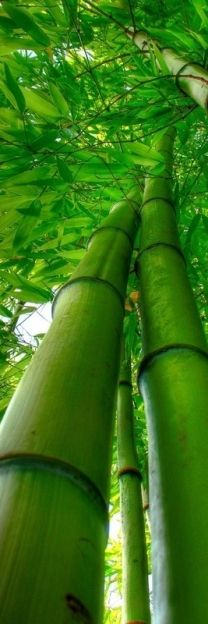 This one reminds me of walking in Hana in Hawaii through the bamboo forest.