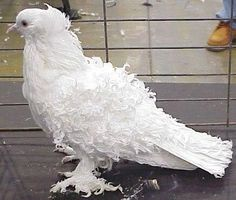 free-ads.eu - Birds classifieds: Doves and Pigeons - United States free ads