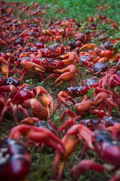 libutron:  Red Crab Migration  Every year, in the Christmas Island, Australia, around 100 million of red crabs migrate in mass to the sea to...