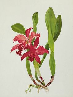 Andrey Nikolaevich Avinoff, Orchid, 20th century