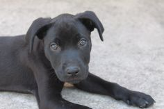 Labrador Retriever dog for Adoption in Del Rio, TX. ADN-527721 on PuppyFinder.com Gender: Female. Age: Baby