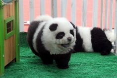 """The big craze happening in China right now is the """"panda dog."""" No, these are not a mix of a panda and a dog, but are actually a breed of dogs called chow chow that are groomed to look like pandas. Hsin Ch'en, a pet store owner in China, is… Perros Chow Chow, Chow Chow Dogs, Chow Puppies, Chow Chow Preto, Panda Puppy, Dog Dye, Class Pet, Pet Store, Cute Baby Animals"""