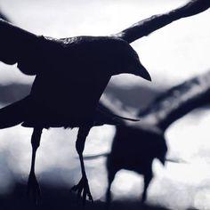 Duncan's ravens