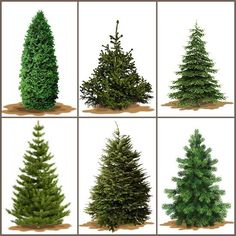 Different varieties of real Christmas trees - real tree this year, exciting :)