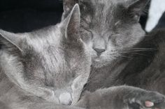 Russian Blue love