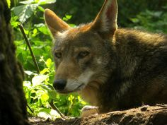 Red Wolf Recovery Program.   follow us in your vehicle as we lead you on the Wildlife Drive to look for bears and other wildlife. Participants will return in time for the Red Wolf Howling.