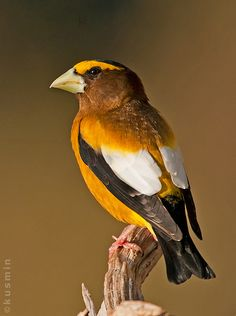 Evening grosbeak (coccothraustes vespertinus)