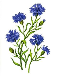 Illustration about Vector branch of blue cornflowers isolated on a white background. Illustration of decorative, blossom, beauty - 43339817 Vector Flowers, Botanical Flowers, Botanical Art, Botanical Illustration, Flower Prints, Flower Art, Blue Drawings, Floral Drawing, Color Pencil Art