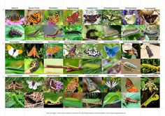 Übersicht Schmetterlinge und Raupen der Schweiz Crafty Projects, Origami, Gift Wrapping, Butterfly, Nursery, Monat, Plants, Animals, Crib