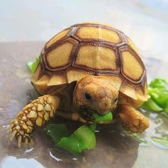 Are you thinking of buying a tortoise to keep? If so there are some important things to consider. Tortoise pet care takes some planning if you want to be. Tortoise Habitat, Baby Tortoise, Sulcata Tortoise, Tortoise Care, Giant Tortoise, Tortoise Turtle, Land Turtles, Cute Turtles, Animals And Pets
