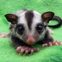 Baby Animals, Cute Animals, Small Animals, Sugar Bears, Australia Animals, Flying Squirrel, Sugar Gliders, My Little Baby, Hedgehogs
