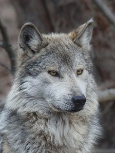Mexican gray wolf (Canis lupus baileyi) by Don Burkett  yes.. that's my face if i see me in the mirror :'D