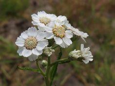 Achillea ptarmica Fam. Asteraceae