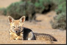desert fox pissed and eyeing rattle snake