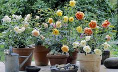 Bunte Rosen-Pracht im Topf